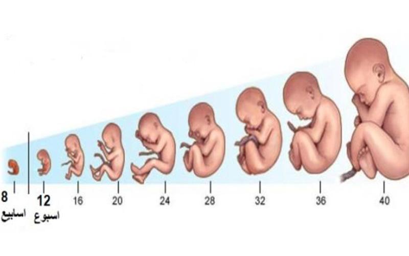 مراحل تكون الجنين