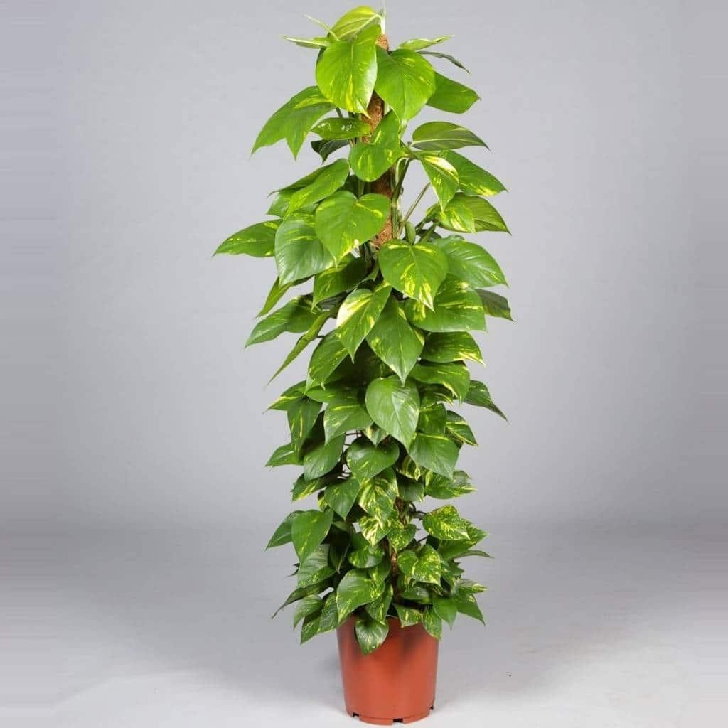 نبتة البوتس (عبد الوهاب)