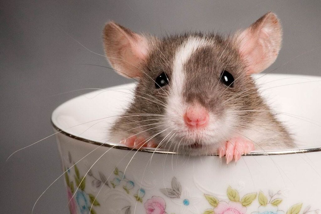 تفسير حلم رؤية الفئران في المنام